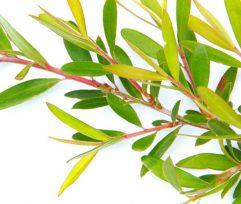 12 Benefits of Tea Tree Oil