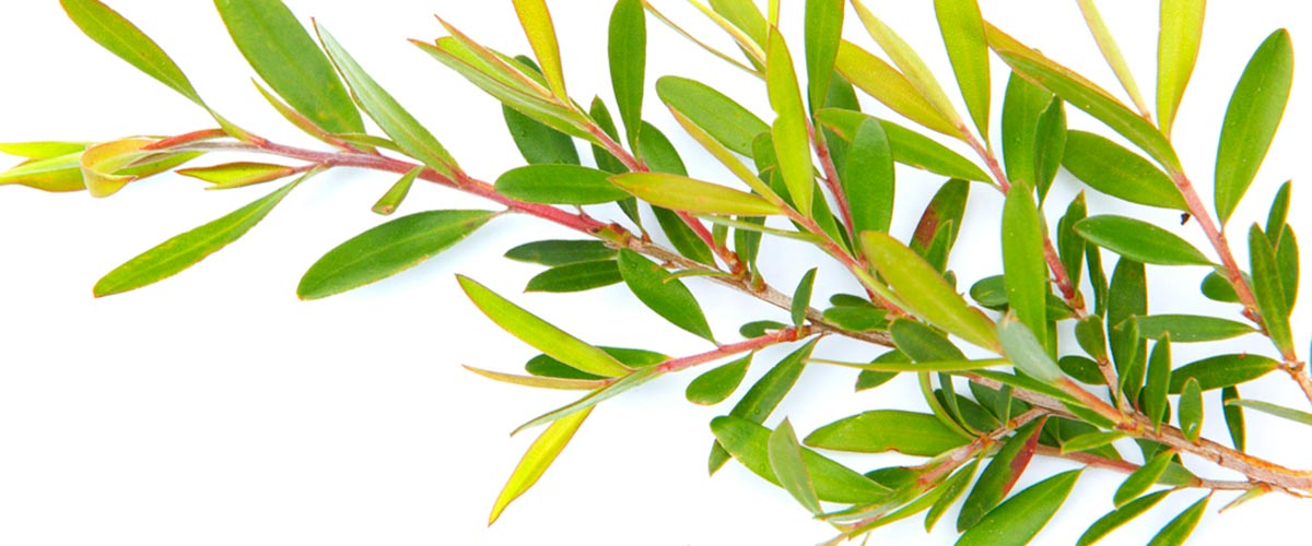 12 Benefits of Tea Tree Oil